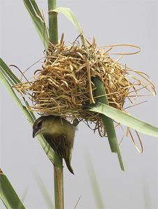 Kilombero Weaver