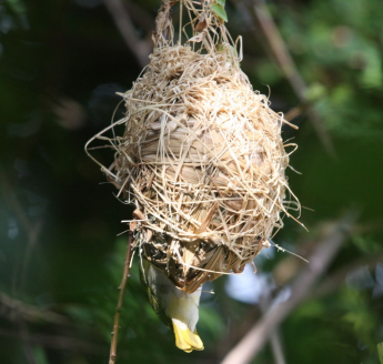 Cinnamon Weaver