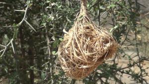 Vitelline Masked Weaver