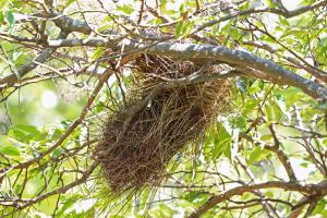 Chestnut-mantled Sparrow-Weaver