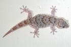 ReptileMAP 150980